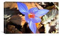 Wild saffron 2,