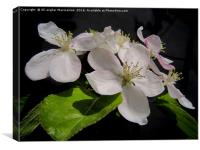 Apple's blossoms,