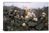 Wild plum's blossoms 2,, Canvas Print