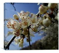 Wild pear's blossoms 3,