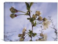 Cherry bolssoms 5,