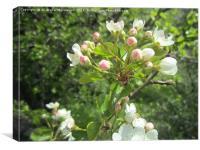 Wild pear's blossoms7,
