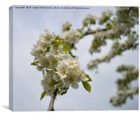 A branch of wild plum's blossoms,, Canvas Print