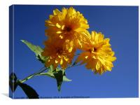 The yellow against the blue,, Canvas Print