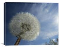 Dandelion in the sunny sky,, Canvas Print