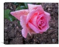A rose in the garden,, Canvas Print