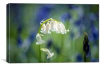 White bluebell , Canvas Print