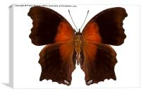 brown and orange butterfly, Canvas Print