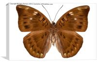 brown butterfly, Canvas Print