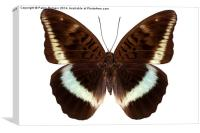 brown Nymphalidae butterfly, Canvas Print