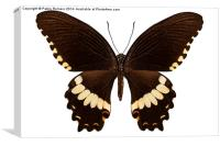 brown papilio butterfly, Canvas Print