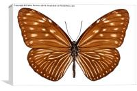 Butterfly species euploea mulciber basilissa, Canvas Print