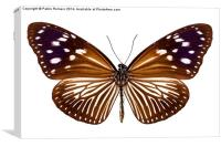 butterfly species Euploea Mulciber female, Canvas Print