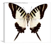 Butterfly species graphium decolor atratus, Canvas Print