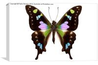 "Butterfly species Graphium weiskei ""Purple Spotted, Canvas Print"