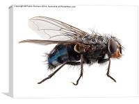 blue bottle fly species calliphora vomitoria, Canvas Print