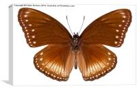 butterfly species Hypolimnas anomala wallaceana, Canvas Print