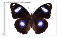 "Butterfly species Hypolimnas bolina male ""Great Eg, Canvas Print"