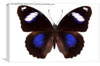 Butterfly species Hypolimnas bolina phillippensis , Canvas Print