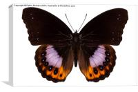 Butterfly species hypolimnas pandarus, Canvas Print