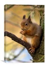 Scottish Red Squirrel, Canvas Print