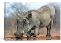 Warthog Drinking Water on Bended Knees, Canvas Print