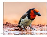 Close-Up of a Black Collared Barbet and Reflection, Canvas Print