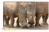 Rhino, Canvas Print