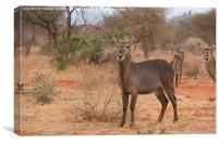 Female Elipsen Waterbuck, Canvas Print