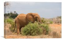 Elephant Browsing, Canvas Print