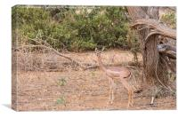 Female Gerenuk, Canvas Print