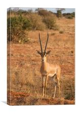Grant's Gazelle, Canvas Print
