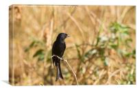 Fork-Tailed Drongo, Canvas Print