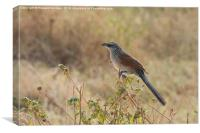 White-Browed Coucal, Canvas Print
