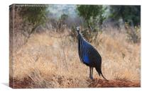 Vulturine Guneafowl, Canvas Print