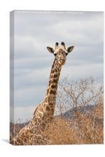 Masai Giraffe, Canvas Print