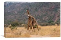 Masai Giraffe bulls fighting, Canvas Print
