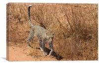 Leopard on the prowl, Canvas Print