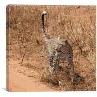 Female Leopard, Canvas Print