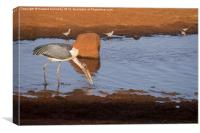 Maribou Stork hunting, Canvas Print