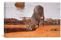 Waterbuck drinking, Canvas Print