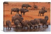 Buffalo herd drinking, Canvas Print