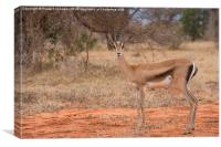 Grant's Gazelle looking at camera, Canvas Print