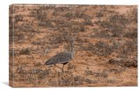 Crested Bustard, Canvas Print