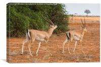 Grant's Gazelle male courting female, Canvas Print