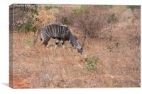 Lesser Kudu bull, Canvas Print