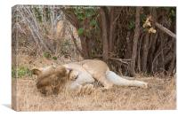 Resting Lioness grooming, Canvas Print