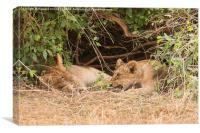 Lion cubs under bush, Canvas Print