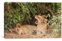 Lion cubs resting under a bush, Canvas Print