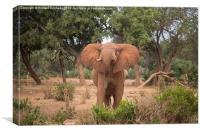 Bull Elephant threat posture, Canvas Print